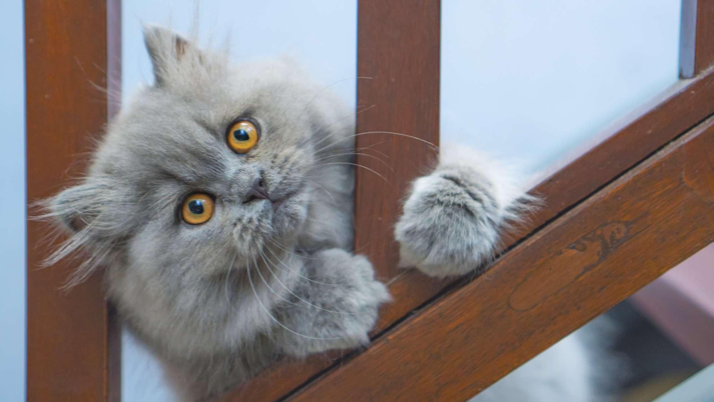 Persian cat with blue coat