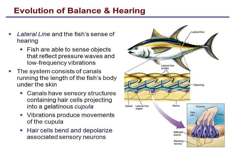 Fish Balance and Hearing
