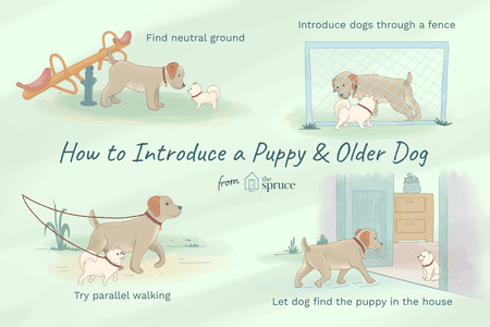 Train an Older Dog to Accept a New Puppy