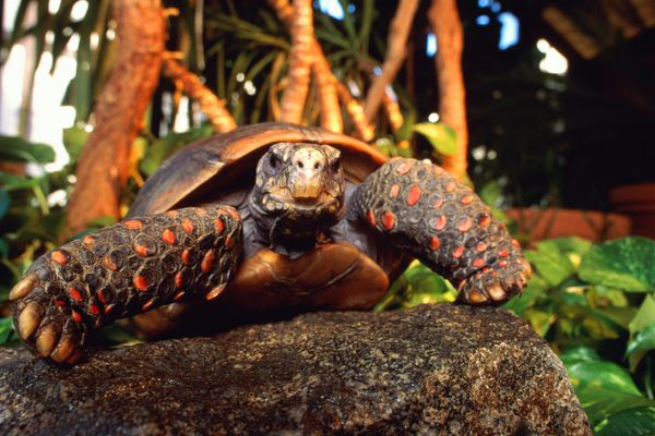 Red-footed tortoise crawling on a rock outside.