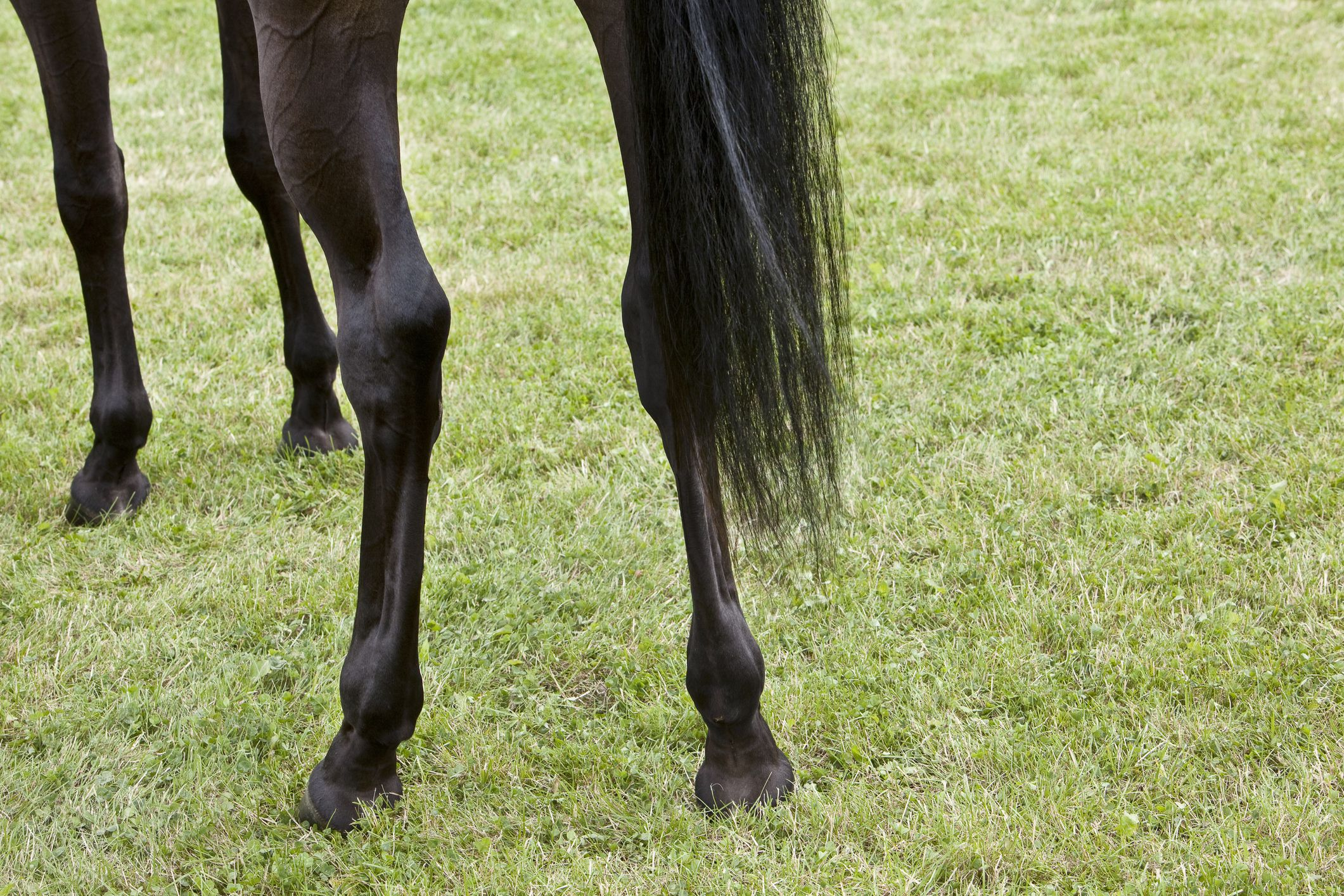 Close up of a horse's hind legs