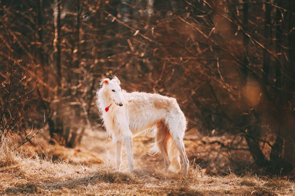borzoi dog in the woods
