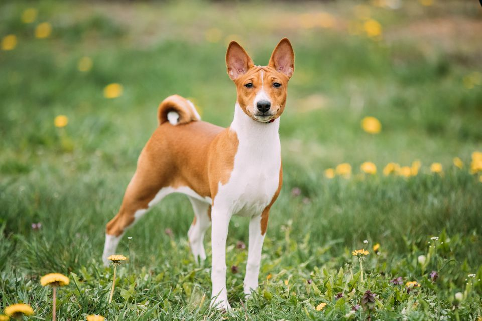 A red and white Basenji dog standing up straight with a curled tail and perked ears in a field of grass and dandelions.