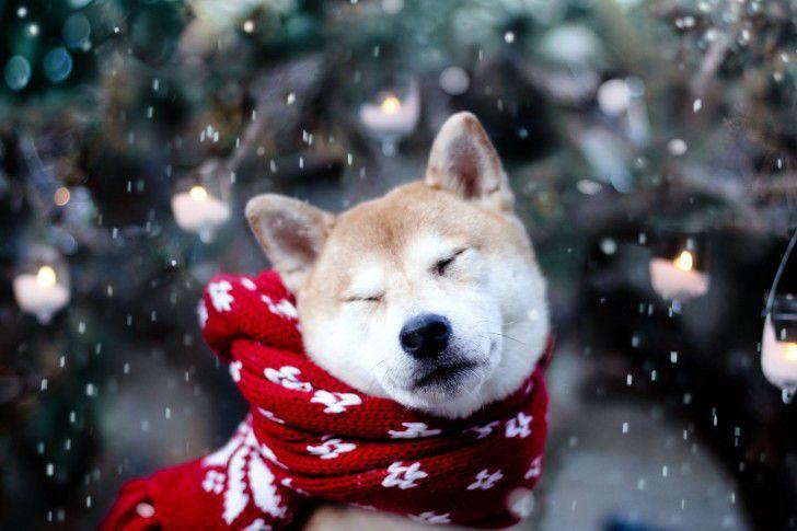 shiba inu dog wearing scarf in snow