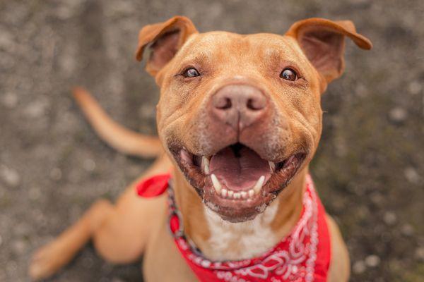 Brown Pit Bull Terrier in red bandana smiling at camera.