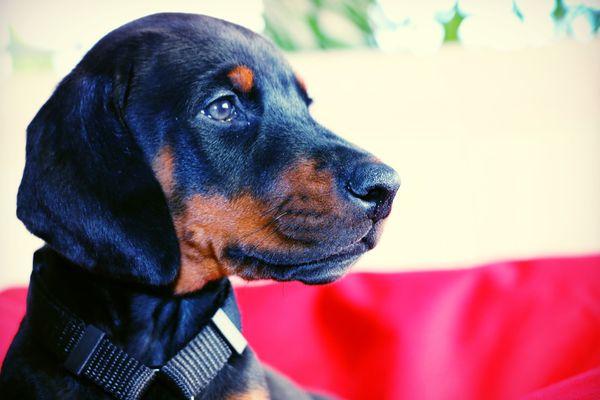 Close-up of Doberman Pinscher Puppy Outdoors