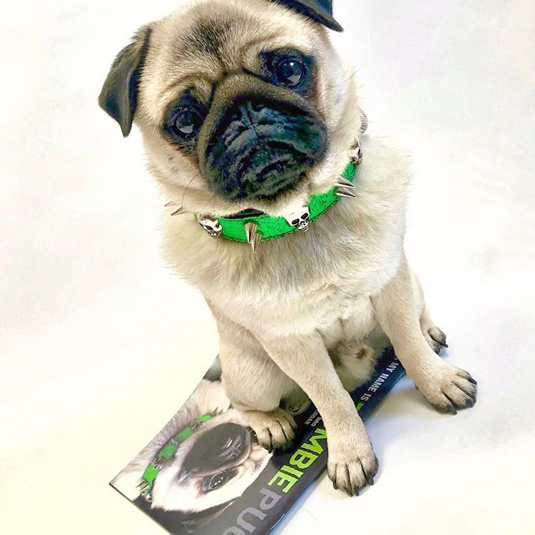 A pug with a green spiked collar looking at the camera.