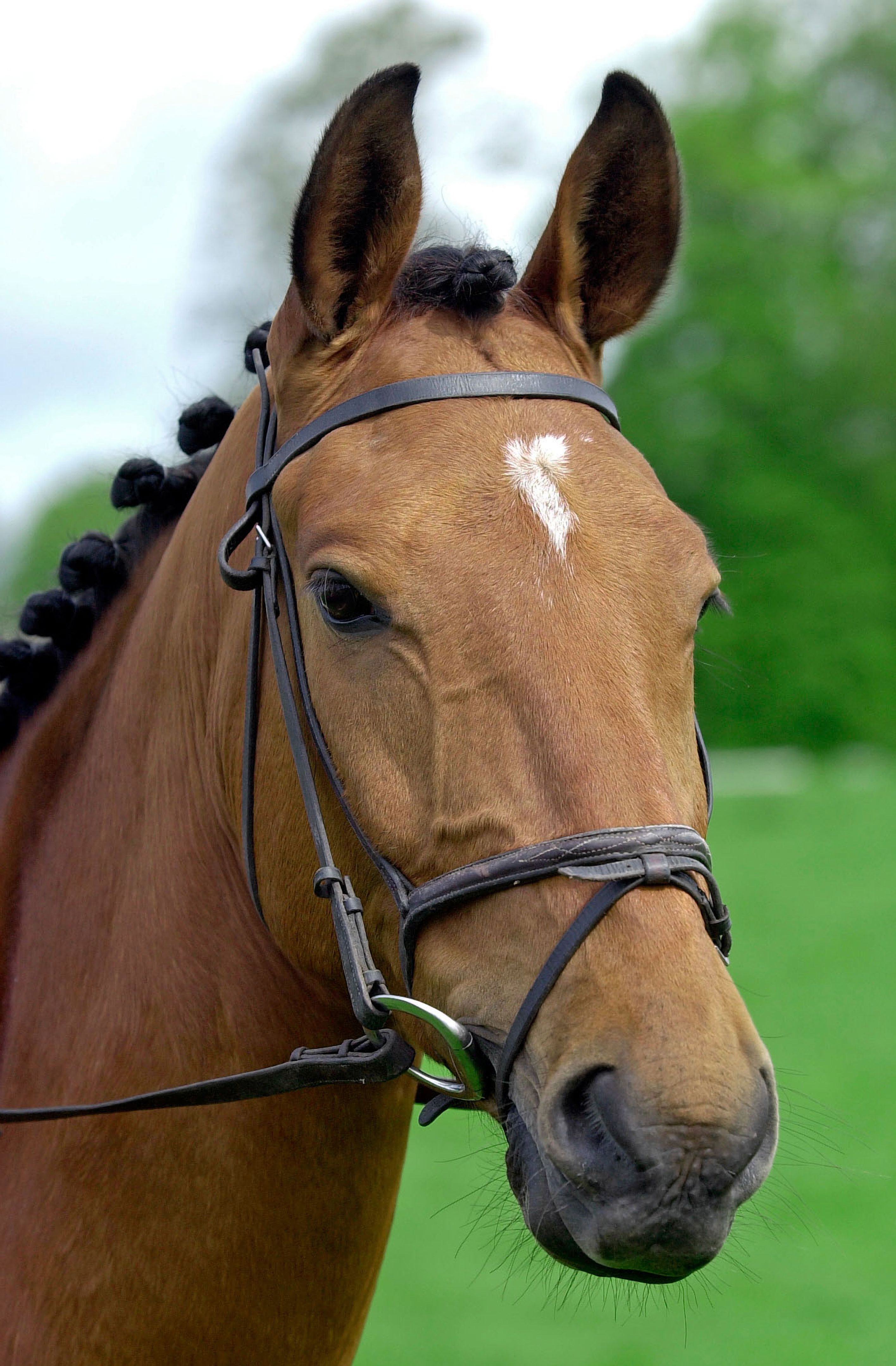 Cleveland Bay cross Thoroughbred