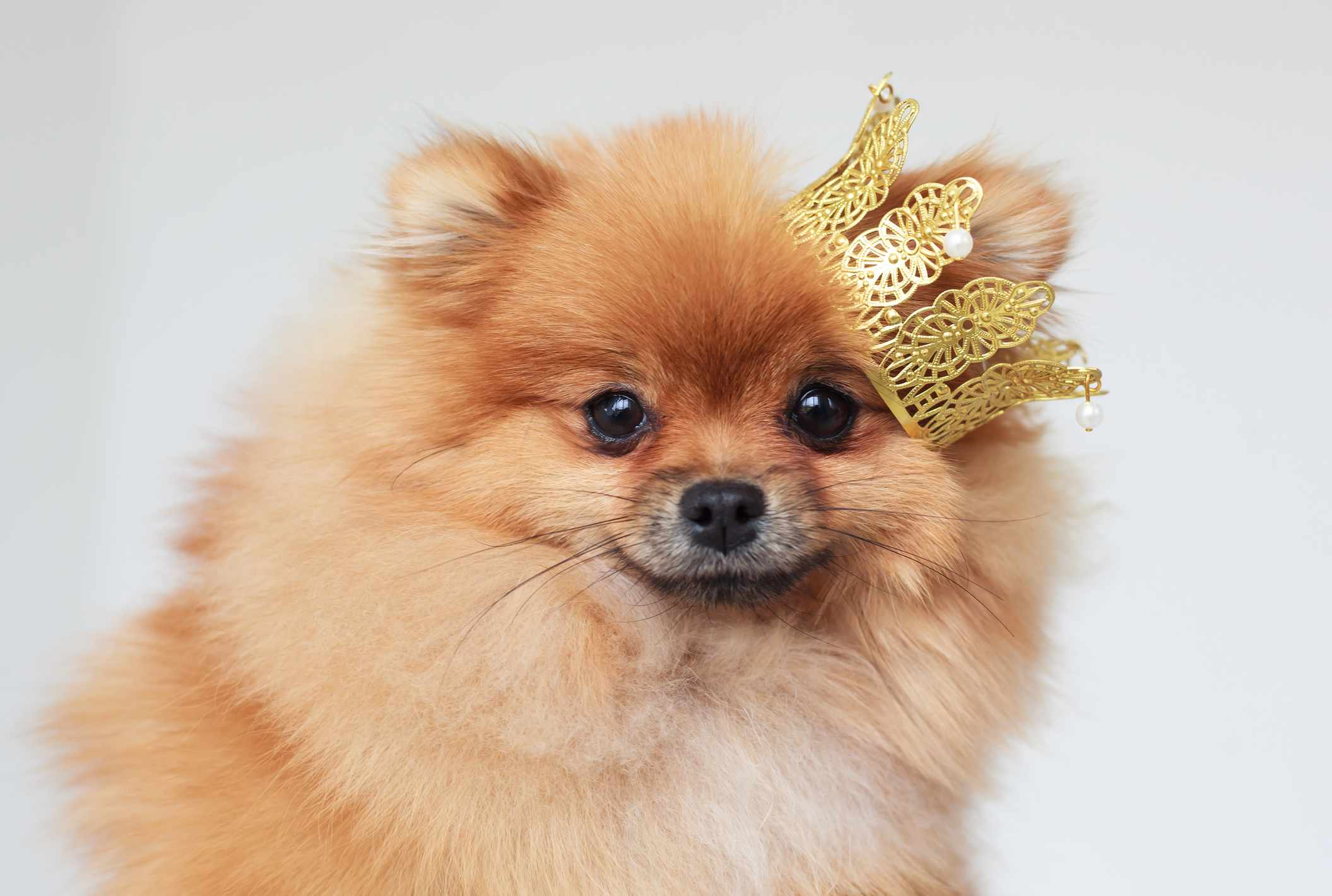 A Pomeranian with a little Crown over its ear
