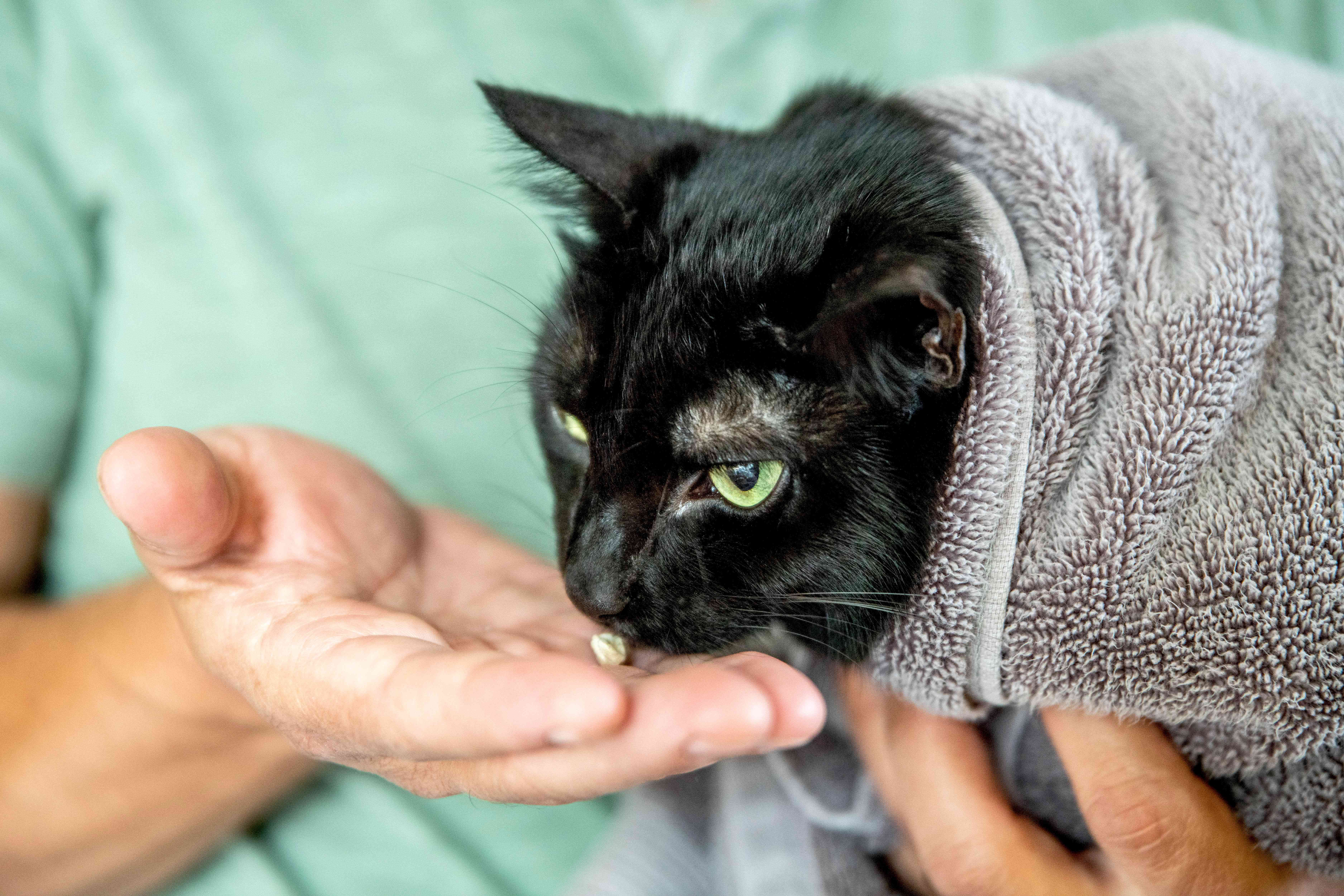 Black cat wrapped in towel with owner holding a treat in front