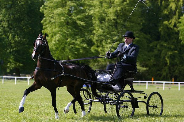 Bay Hackney Horse competing in a driving show.