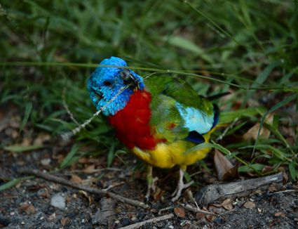 A Scarlet-chested Parrot eating grass seeds in Melbourne, Victoria, AU. Melbourne is outside the normal range of this bird, so its suspected that this is an escaped aviary bird.