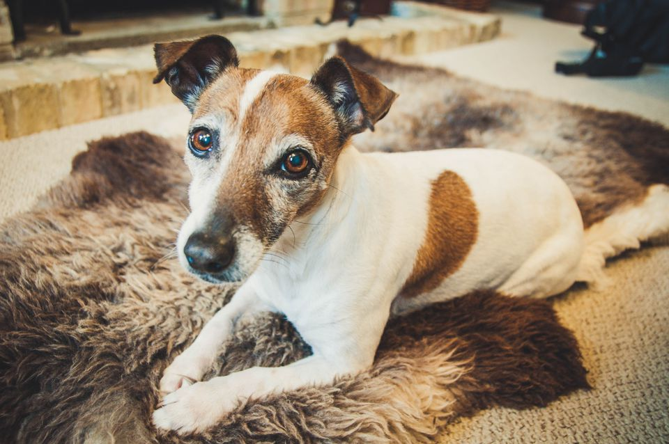 An alderly jack russell lying on a rug