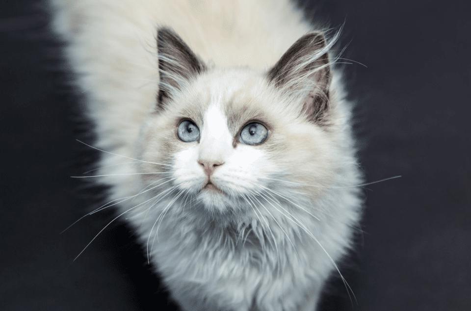 Un gato ragdoll mirando hacia arriba.