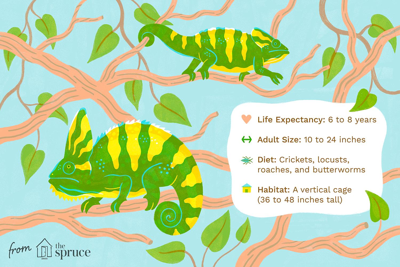 veiled chameleons as pets illustration