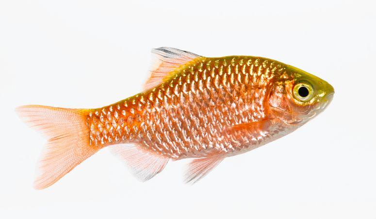 Rosy barb fish (Puntius conchonius)