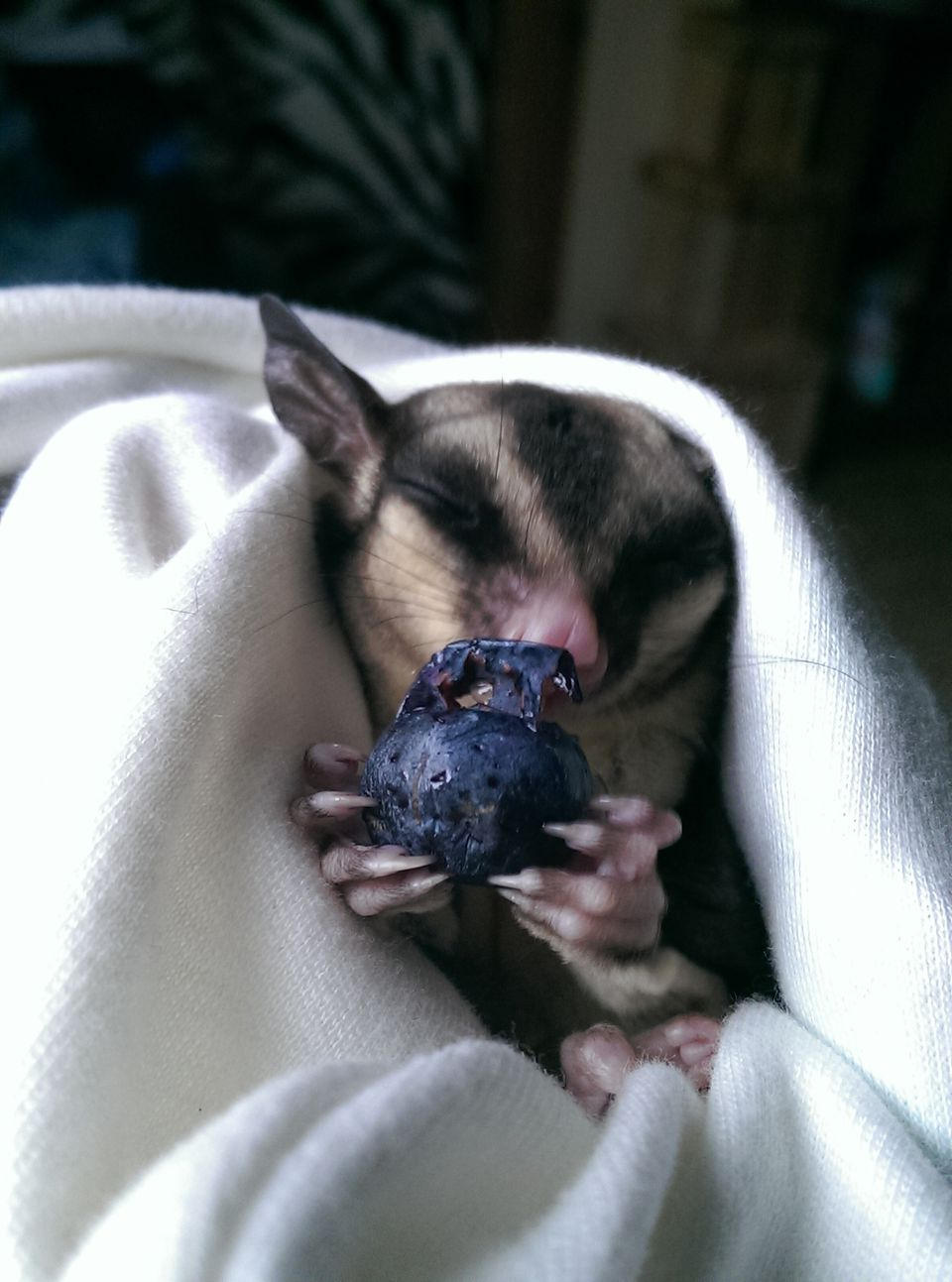 Sugar Glider eating a blueberry