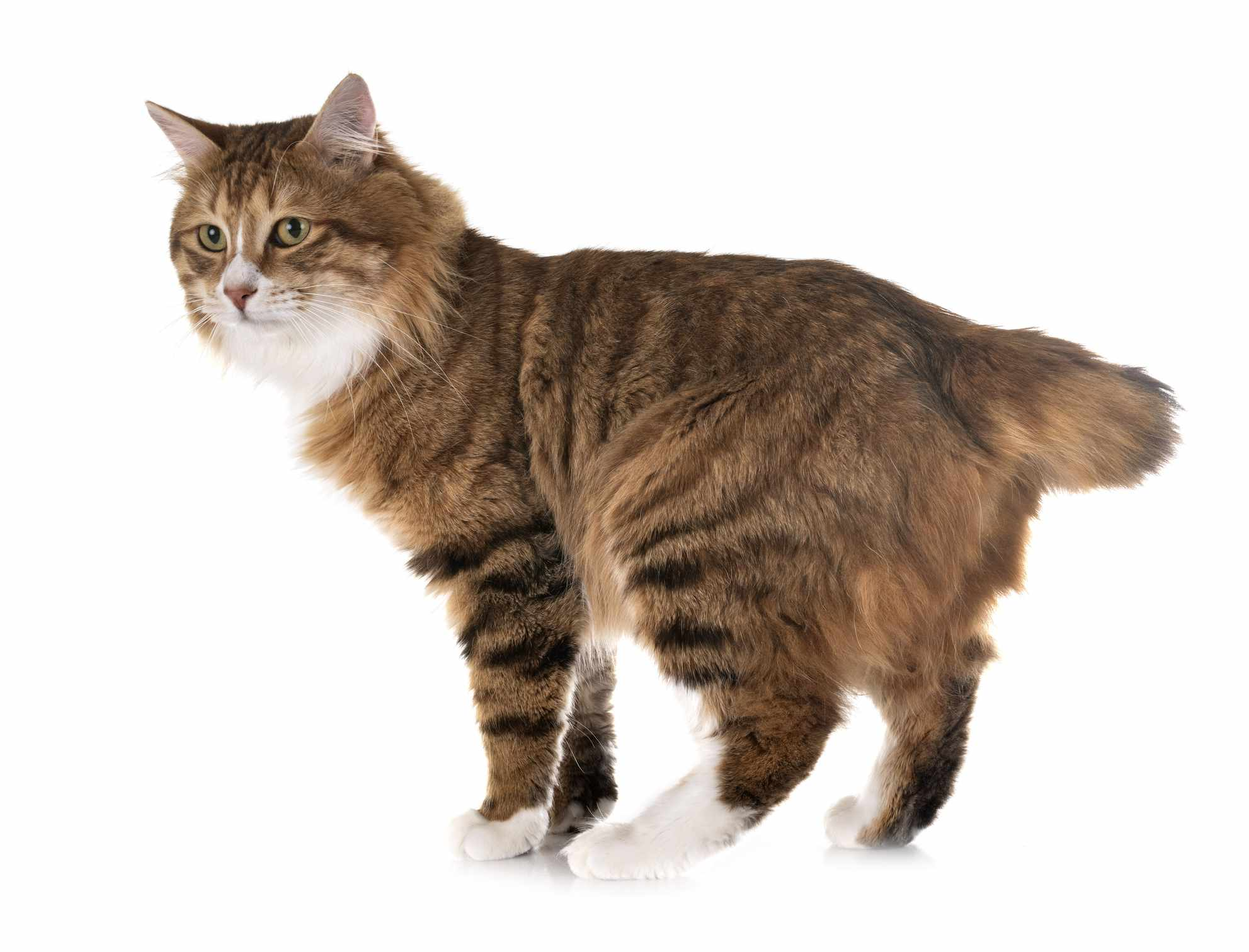 Kurilian Bobtail cat standing