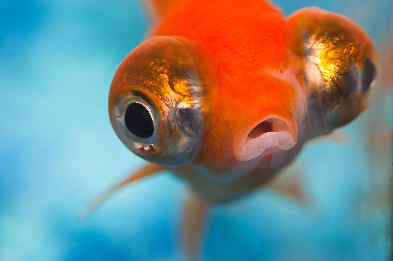 fish with bulging eyes