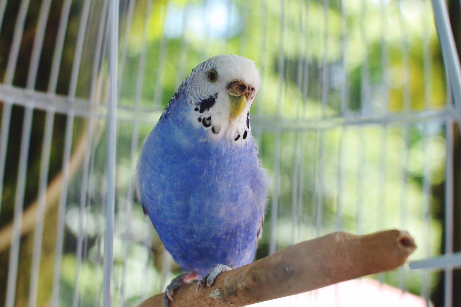 blue budgie in a cage