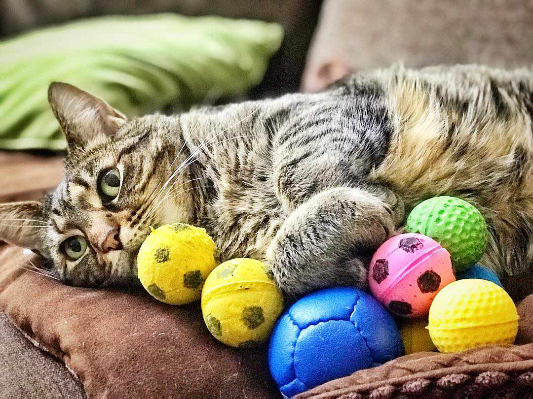 A cat surrounded by toys.