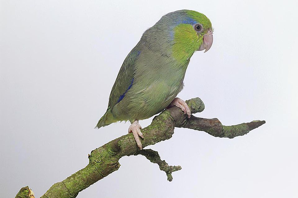Pacific parrotlet (Forpus coelistis), small green and blue parrot sitting on a branch, side view