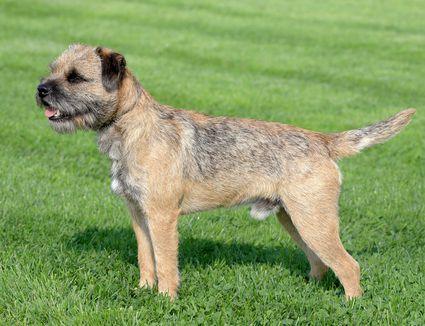 Border Terrier standing on grass