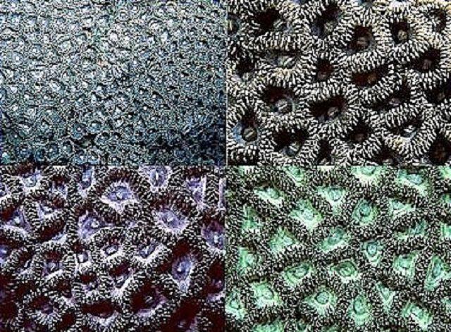Zoanthids (Zoanthus sp.) , Coral de cerebro verde cerrado (Favites sp.) , Coral de burbuja (Plerogyra sinuosa) y de luna (especie de Favia) , Coral de estrella cerebral (Goniastrea sp.) , Zorro (Nemenzophyllia turbida) Coral , Coral Cerebro Abierto