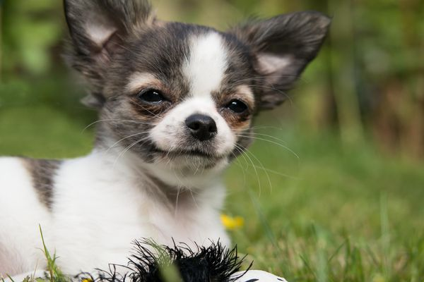 A teacup Chihuahua.