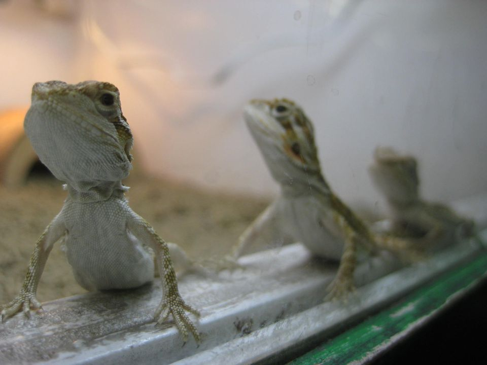 infant bearded dragons