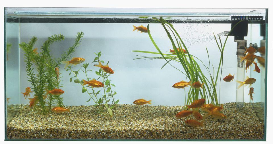 Goldfish (Carassius auratus) nadando en una gran pecera rectangular.