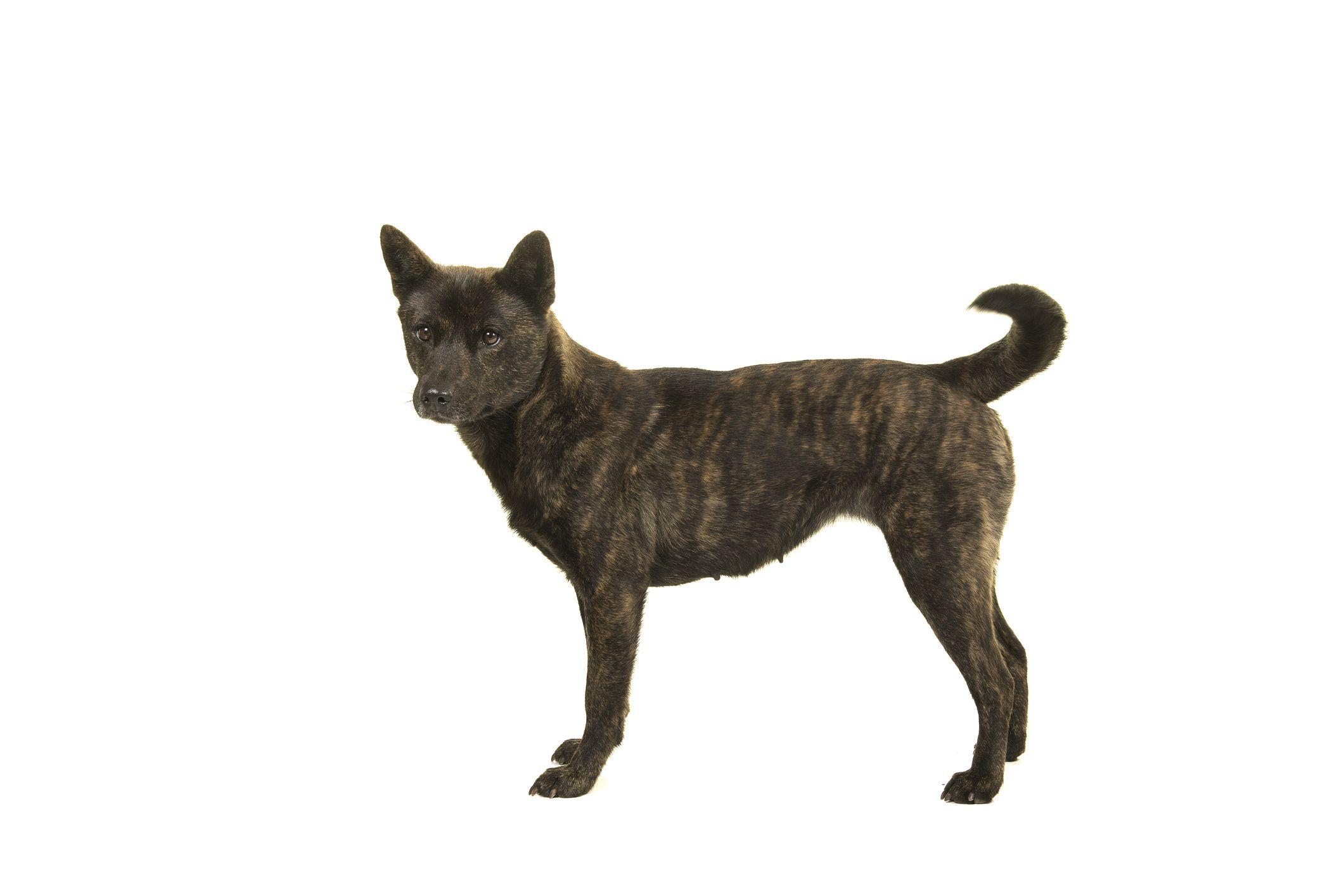 Kai ken dog standing