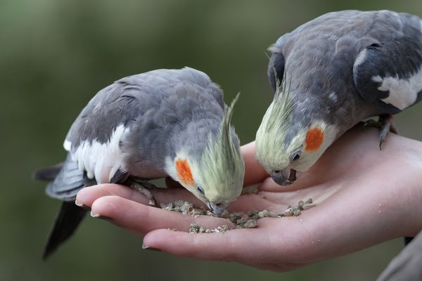Person with bird seed in their hand feeding two cockatiels.
