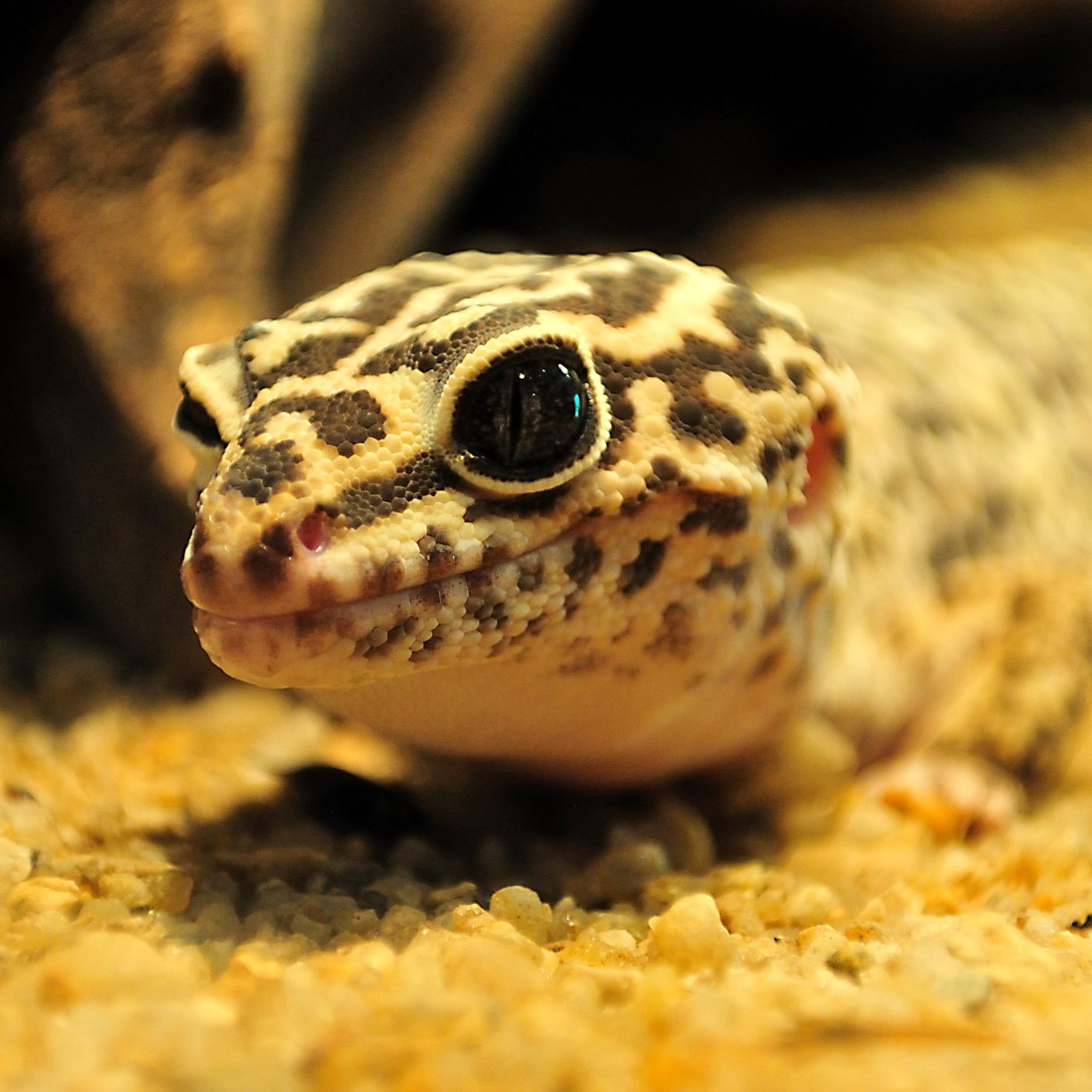 Choosing A Leopard Gecko Substrate