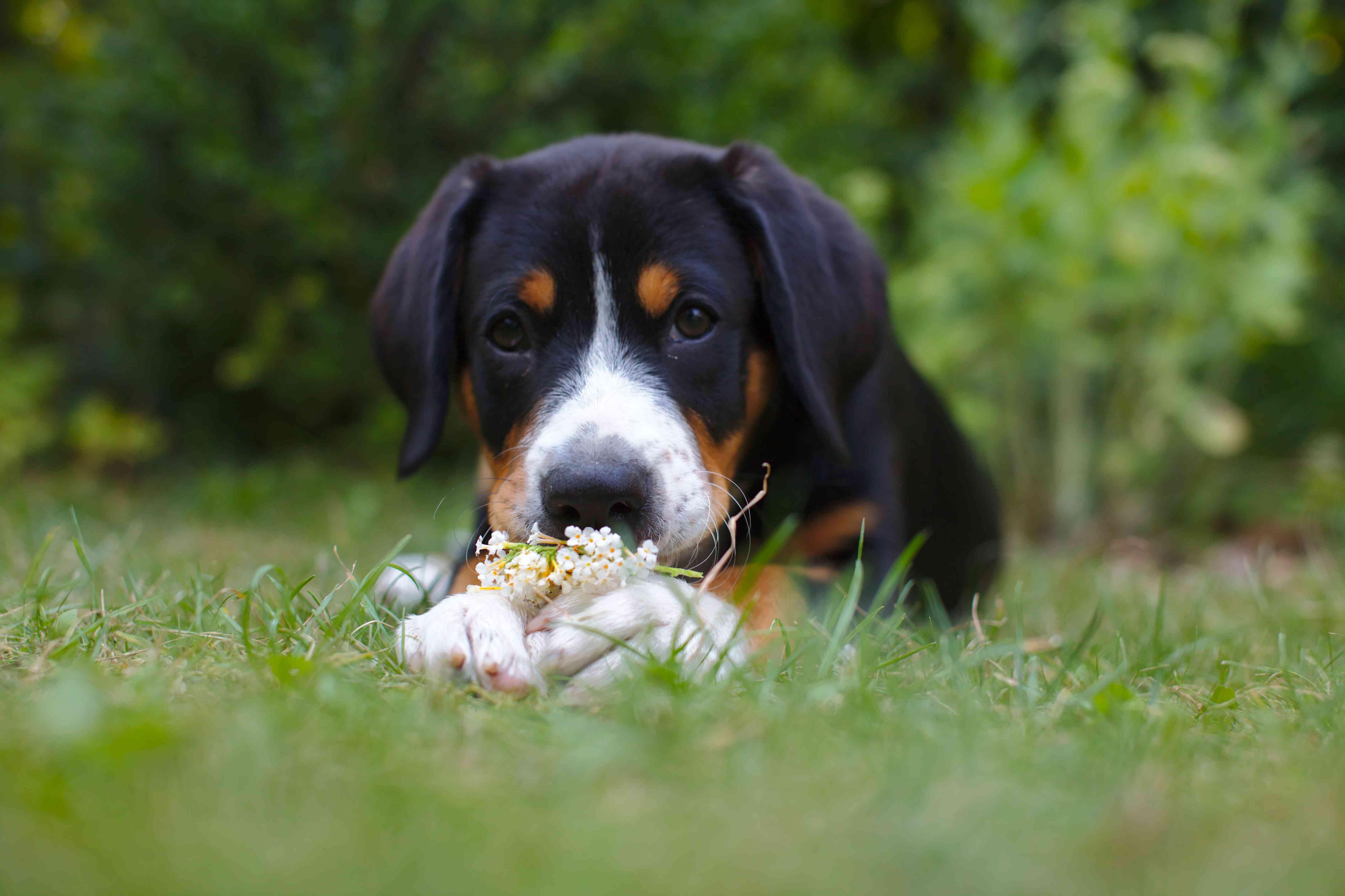 A Entlebucher Mountain Dog puppy.