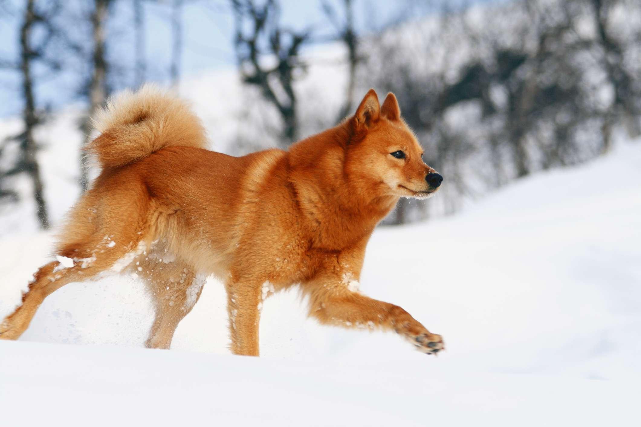 Finnish Spitz trotting through the snow