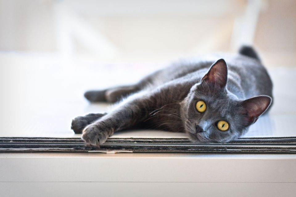 Adult gray Chartreux cat lying on floor staring at camera