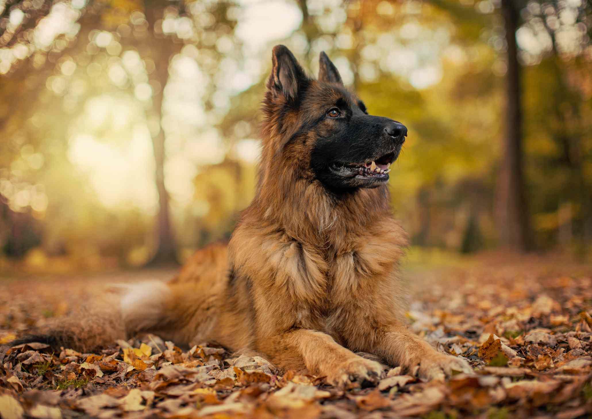 A German shepherd dog lying in the fall leaves