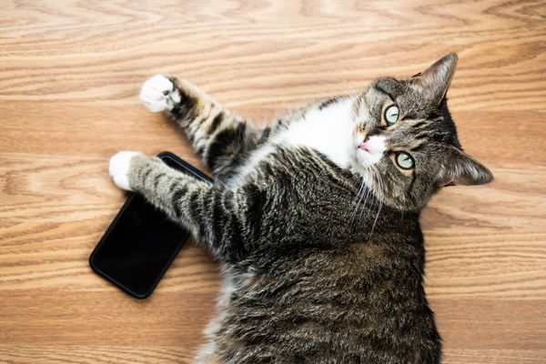 Brown and white cat holding down a mobile phone on wooden surface