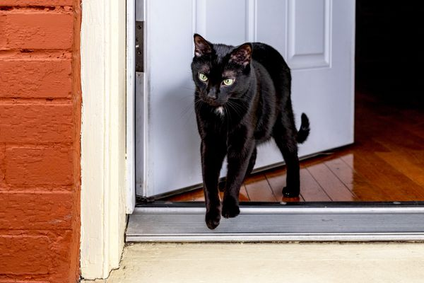 Black cat walking escaping from front door
