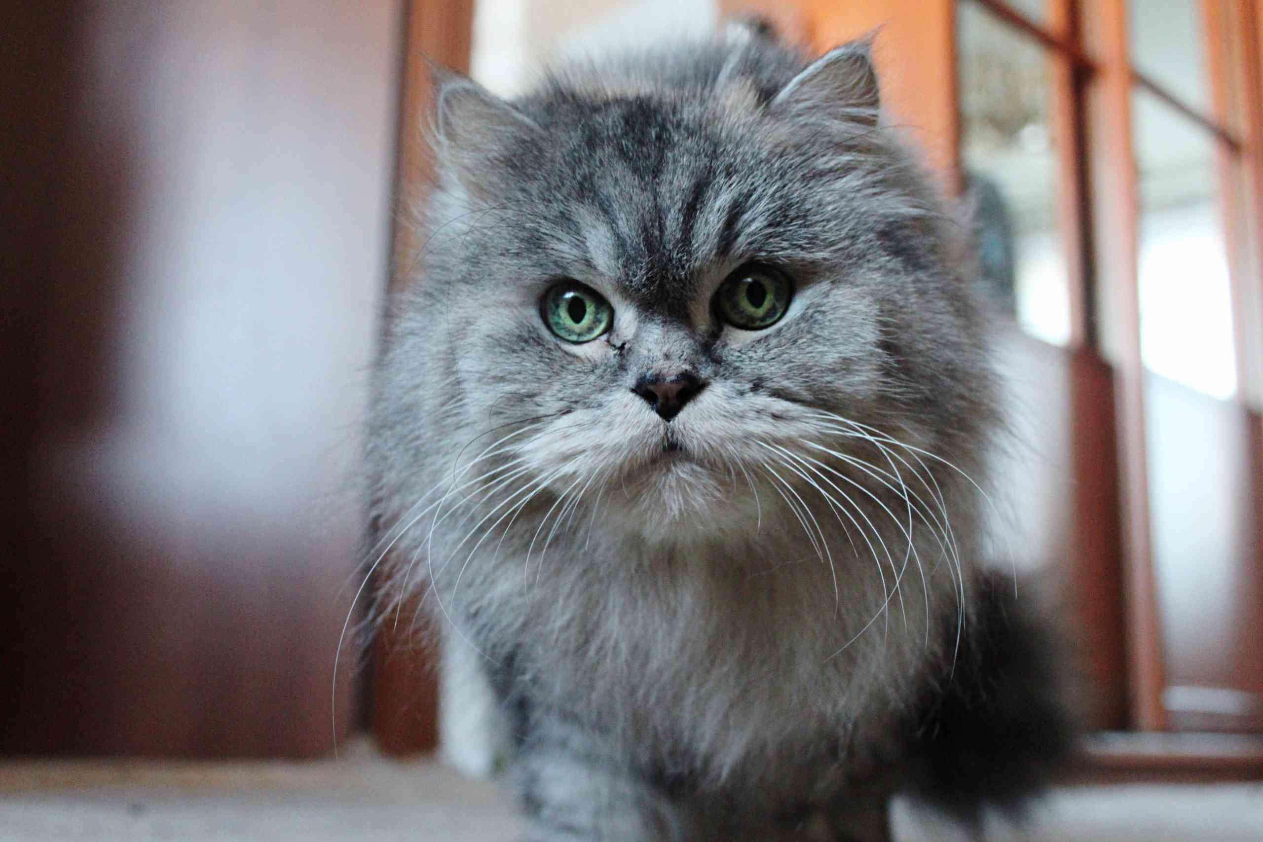 Gato persa gris con ojos verdes