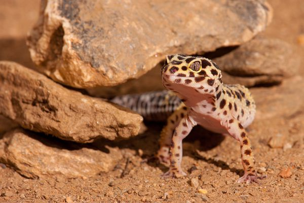 Leopard gecko coming out from under rocks.
