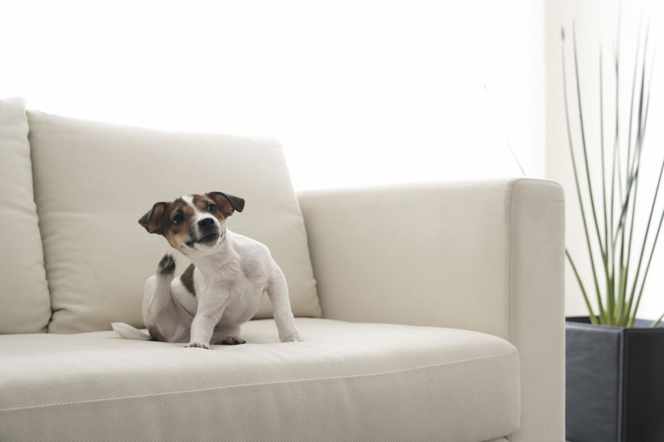 Dog scratching on sofa