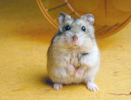 Hamster with wheel
