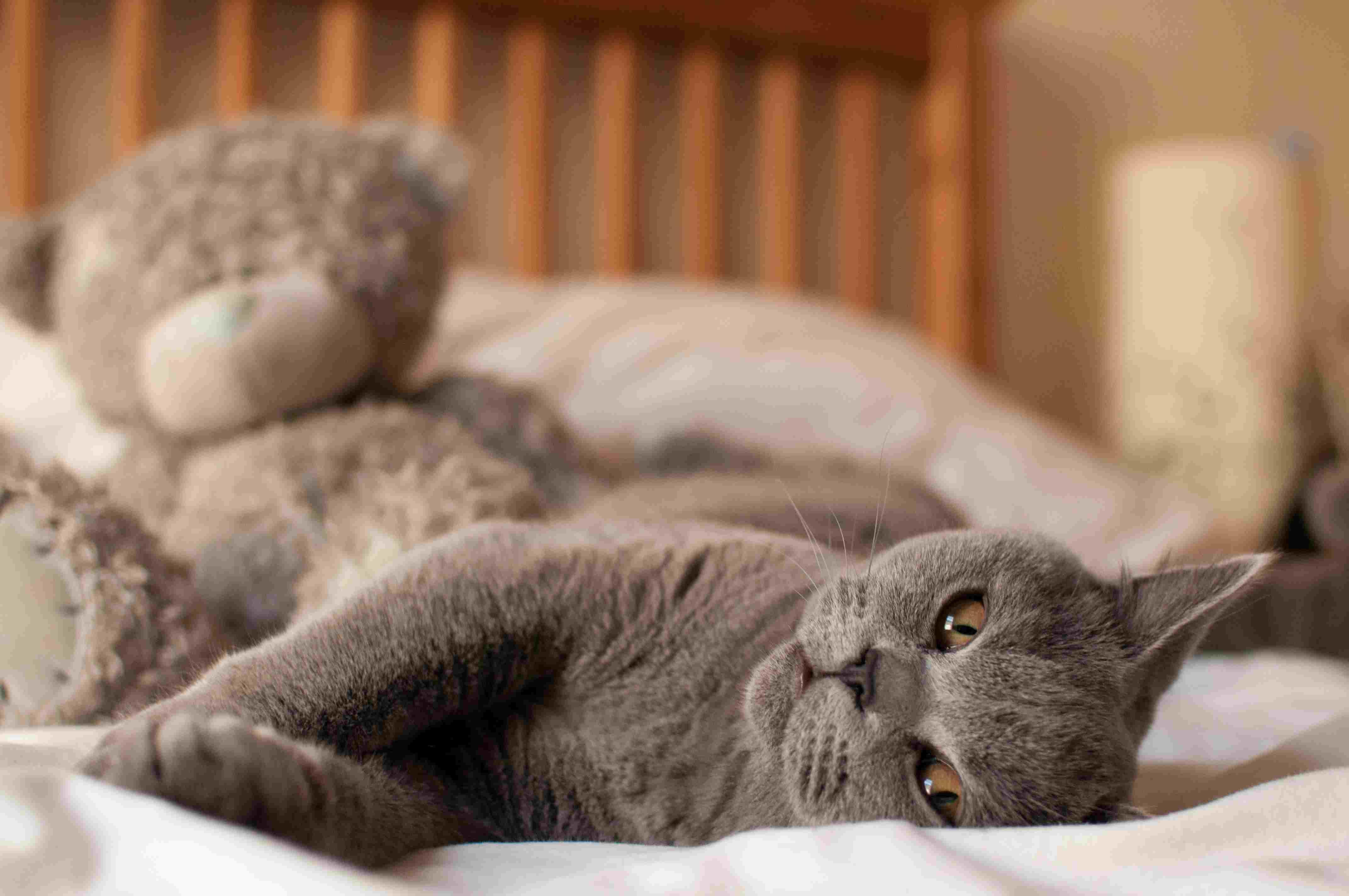 Gray cat lying on bed near a giant teddy bear.