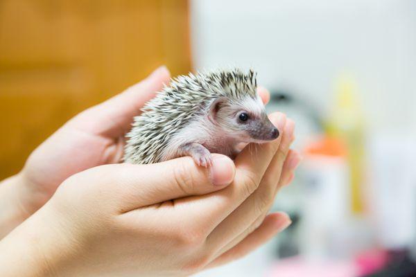 Holding a baby hedgehog