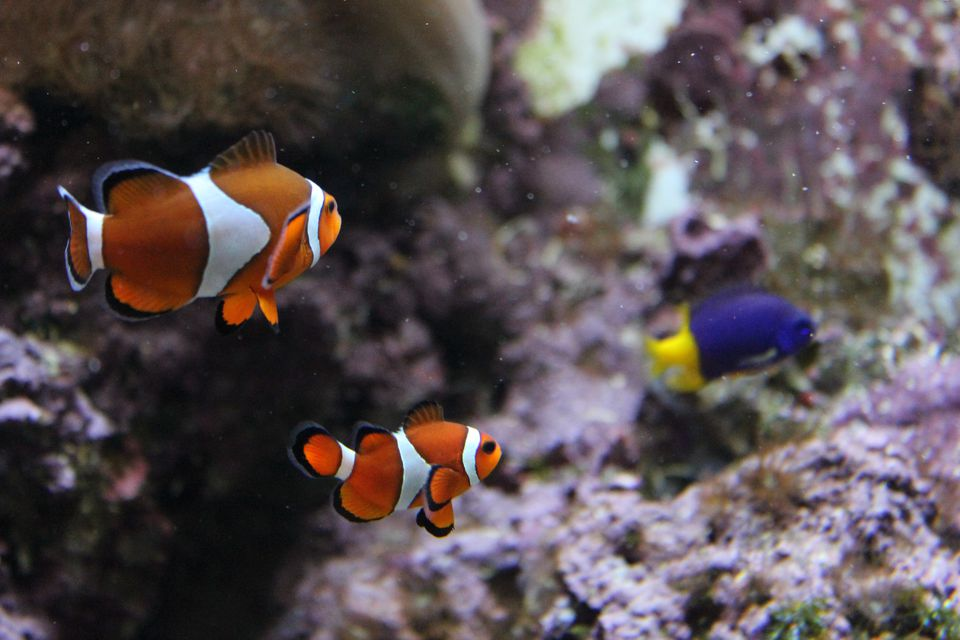 Clown Fish In Water