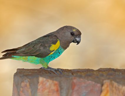 Meyer's Parrot sitting on a rock.