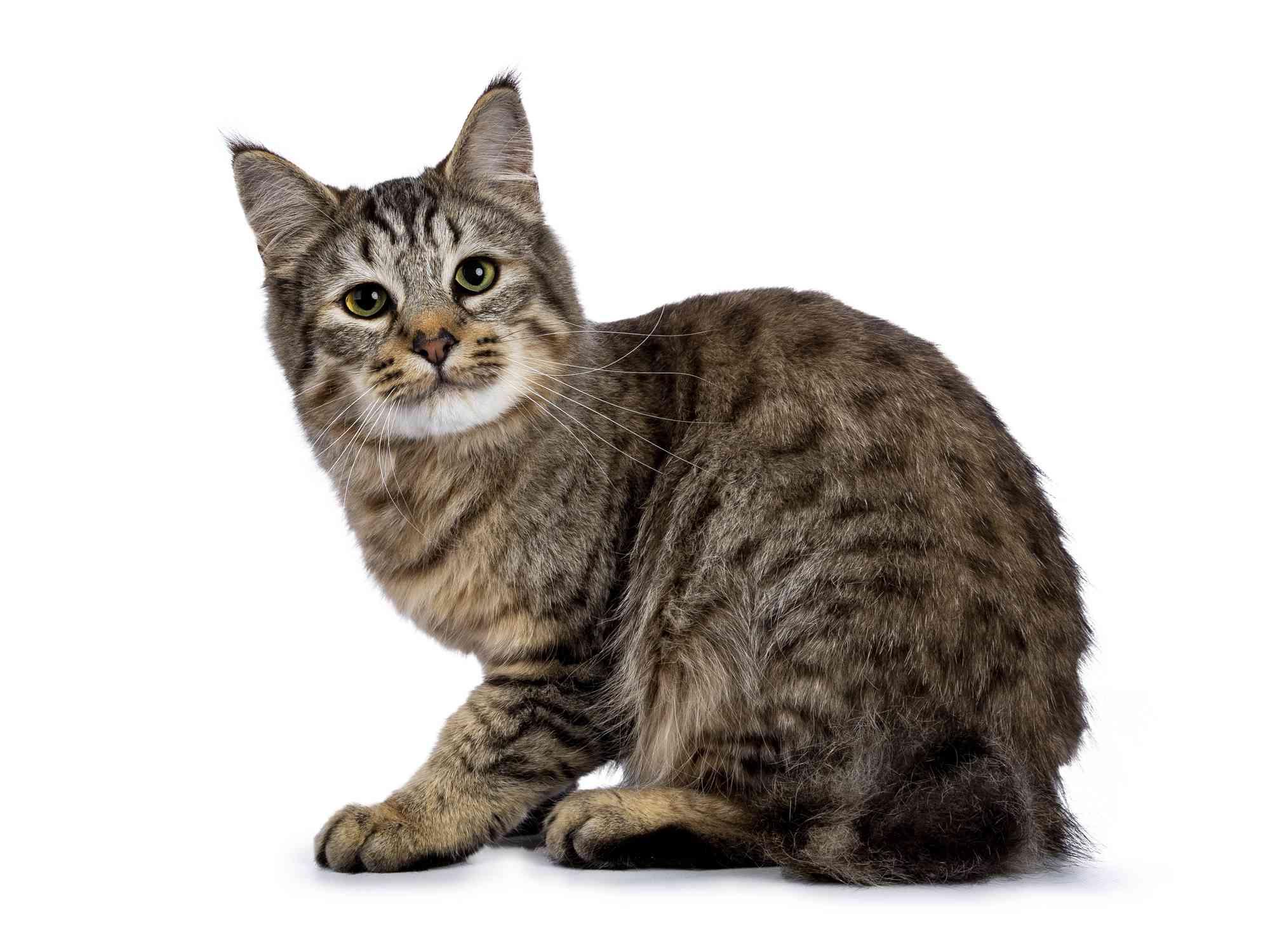 Retrato de raza de gato Pixie-bob