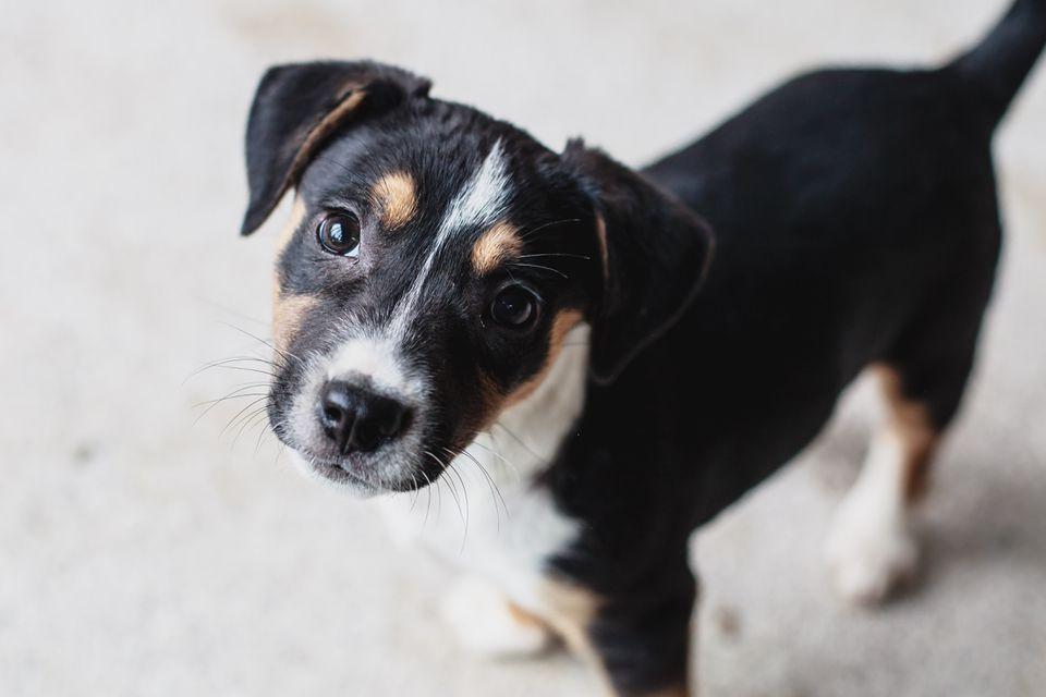 Terrier puppy dog looking upward.